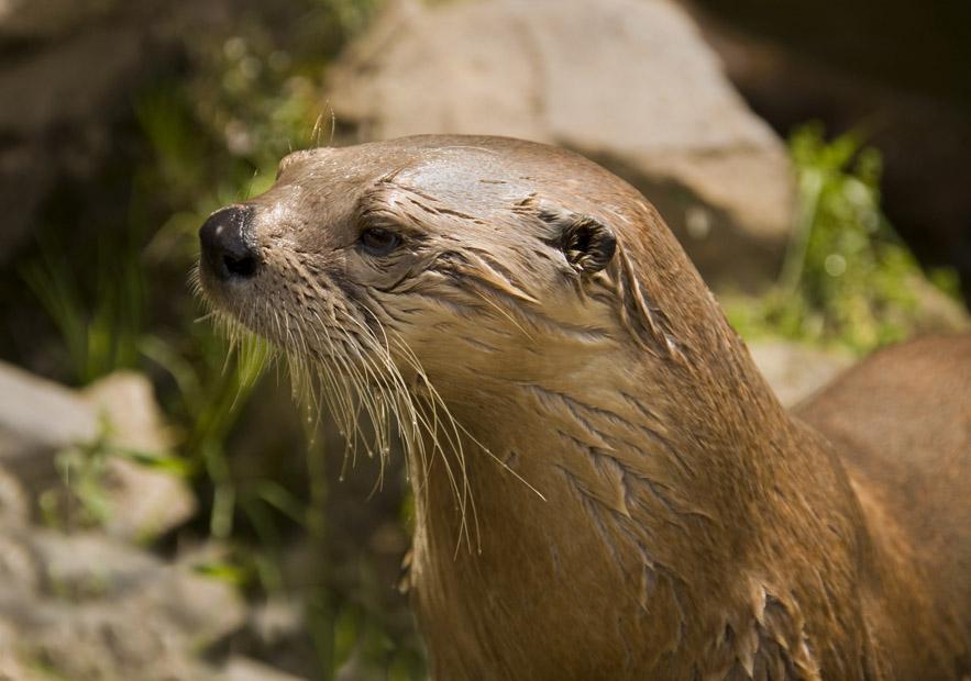 Otters on Dartmoor3